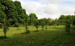Row of young fruit trees