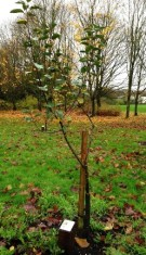 Young apple tree in orchard