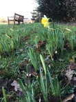 Daffodils in park