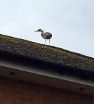 Heron on ridgetiles of house roof