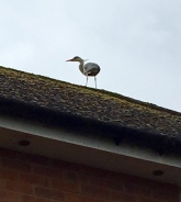 Heron on ridgetiles of house roof